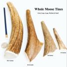 Moose Tine Antlers | PrestigeProductsEast.com
